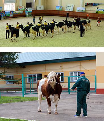 Семинар по оценке телосложения коров голштинской породы